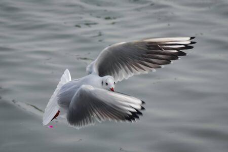 A Bird Of Seagull Flying Over Ocean.