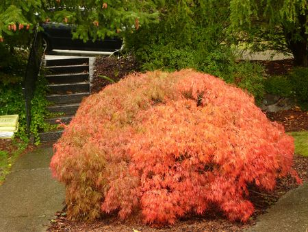 Weeping Japanese Maple Tree