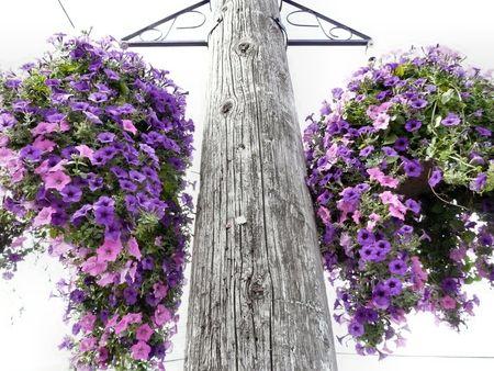 Lavender Hanging Floral Baskets on Telephone Pole photo