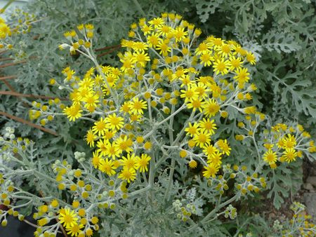 noxious: Tansy Ragwort Noxious Weed Cluster