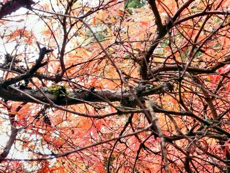 Japanese Maple Tree from the Underside Stock Photo - 2216098