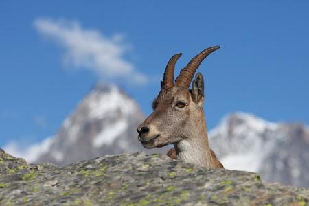 capra: Close view on a young Capra Ibex near the White Lake near Chamonix