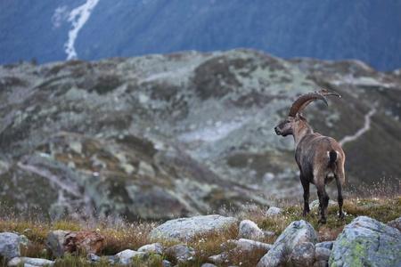 capra: View on a male Capra Ibex near the White Lake near Chamonix