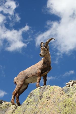 berggeit: Sluit bekijken op een jonge Capra Ibex in de buurt van de White Lake in de buurt Chamonix Stockfoto