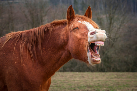 Laughing horse in a field