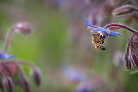 Honeybee drinking nectar from borage, know as starflower, during summer Фото со стока - 99163803