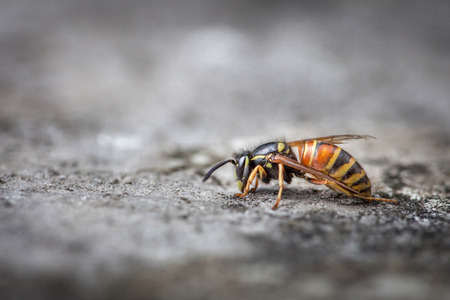 Wasp saved from water and drying on stone