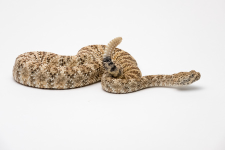 Speckled Rattlesnake on White Background