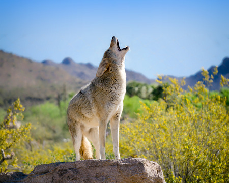 Coyote Howling in American Southwest 스톡 콘텐츠