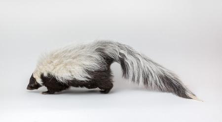 Gestreepte stinkdier geïsoleerd op een witte achtergrond Stockfoto