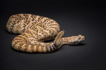 Rattlesnake on Black Background Stock fotó - 80698241