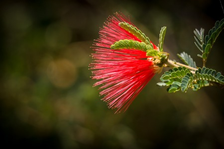 Red Baja Fairy Duster Flower