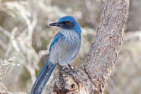 Western Scrub Jay, Blue Bird, on Branch with light background