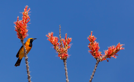 Ocotillo flowers and branches with yellow and black Oriole Bird Stock Photo