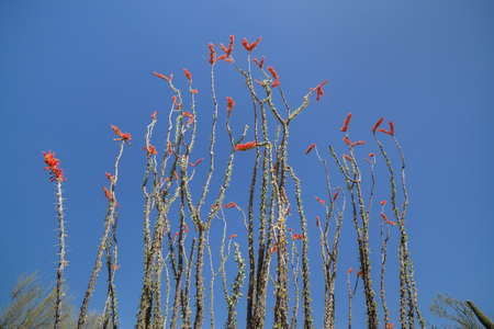 Ocotillo with Red Flowers and thin branches Stock Photo