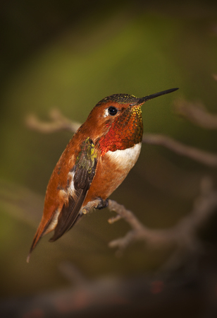 hover: Rufous Male Hummingbird on Branch with Green Background Stock Photo