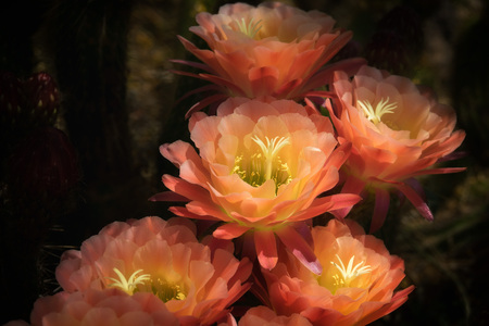 Colorful Plants, Torch cactus with Pink and Yellow Flowers
