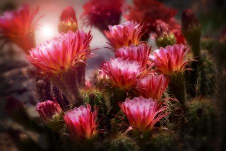 カラフルな植物、ピンクと黄色の花を持つトーチ サボテン