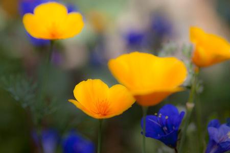 Fleurs sauvages poussant dans le désert de Sonora, coquelicots et bluebelles du désert