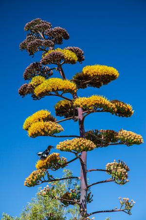 アガベ花房茎の黄色の花と青い空