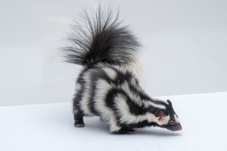 Spotted skunk on white background Stock Photo