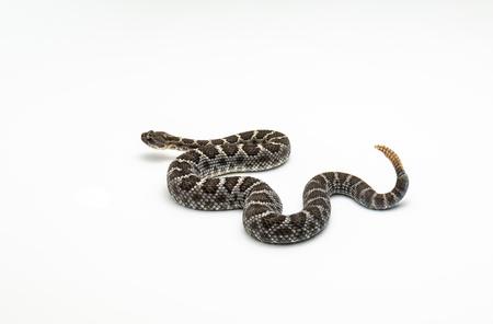 Arizona serpente a sonagli nero su sfondo bianco Studio isolato Archivio Fotografico