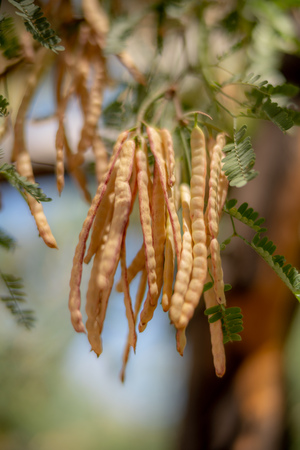 Edible Mesquite Beans on Tree in the Sonoran Desert Banco de Imagens