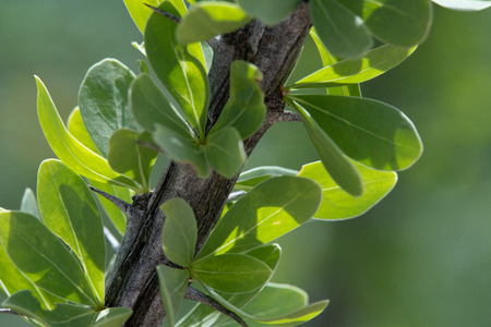 Ocotillo Desert Cactus Leaves Close-Up Фото со стока