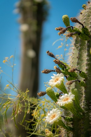 Saguaro Cactus Blossoms with White Flower and Fruit