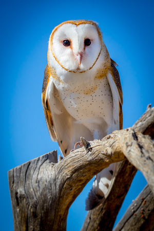 Common barn owl Tyto alba Perched on Branch with Blue Sky Reklamní fotografie
