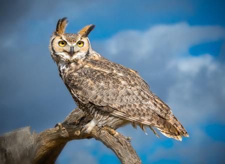 Great Horned Owl in Sonoran Desert Daytime