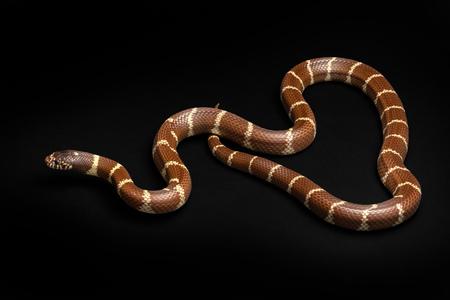 Common Kingsnake - Lampropeltis getula southwest snake non venomous