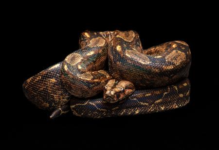 Mexican Boa - Boa imperator southwest snake non venomous Фото со стока