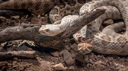 Santa Catalina Island Rattlesnakes in desert Crotalus catalinensis