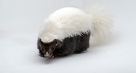 Hog-nosed Skunk Isolated on a White Background Conepatus leuconotus Фото со стока