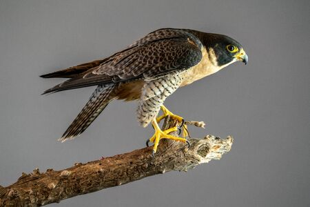 Peregrine Falcon perched on branch with plain gray background 版權商用圖片