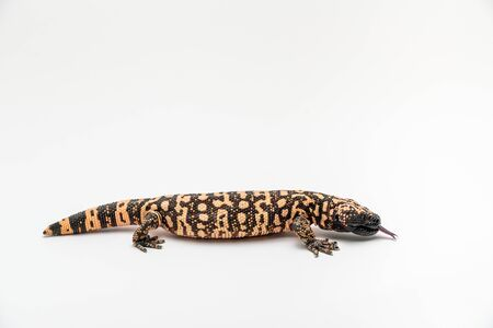 Gila Monster Heloderma suspectum isolated on white background. Фото со стока