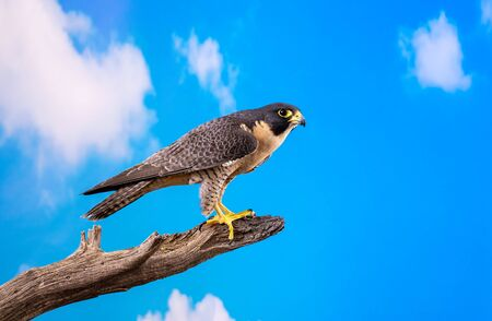 Peregrine Falcon on perch with blue sky and cloud backdrop 版權商用圖片