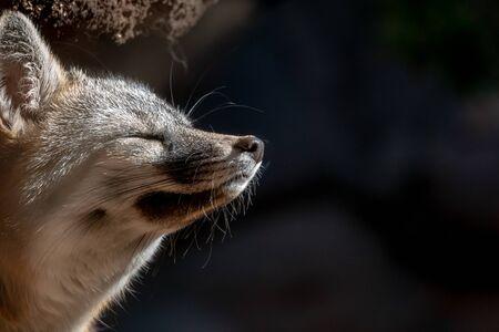 Grey Fox Close Up eyes closed asleep in sun