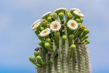 Saguaro Cactus Flowers on top against sky 版權商用圖片