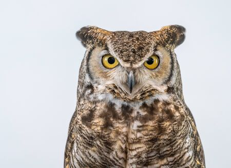 Great Horned Owl on Plain Background Isolated Фото со стока