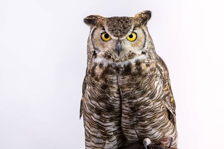 Close up of Great Horned Owl head shoulders