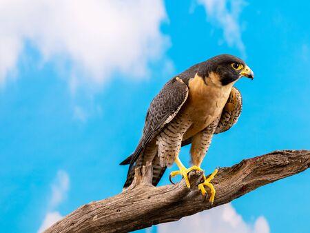 Peregrine Falcon - studio lighting perched on branch 免版税图像
