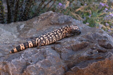 Gila Monster lizard on rock with purple flowers in bacground