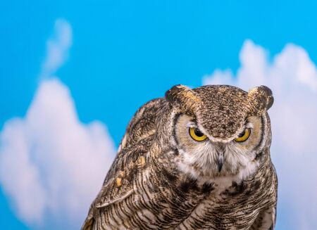 Great Horned Owl close up of head and shoulders