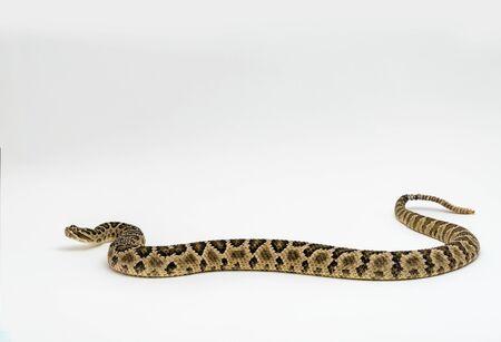 Baja Rattlesnake Crotalus enyo, on white background
