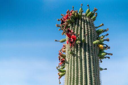 Saguaro Cactus Fruit on top against sky
