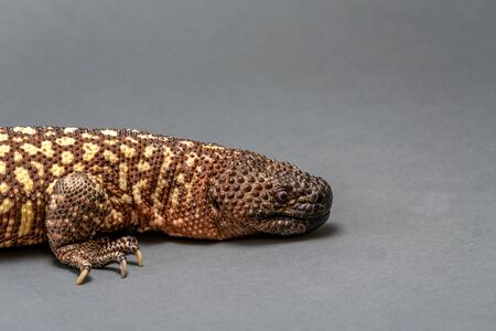 Mexican Beaded Lizard Heloderma horridum on white background.