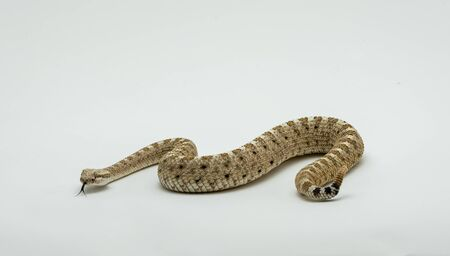 A Sonoran Desert Sidewinder Rattlesnake Crotalus cerastes cercobombus isolated