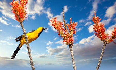 Hooded Oriole on Ocotillo Blooms in the Sonoran Desert against Blue sky and clouds